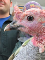 The male turkey after its arrival at REGI Sunday afternoon.