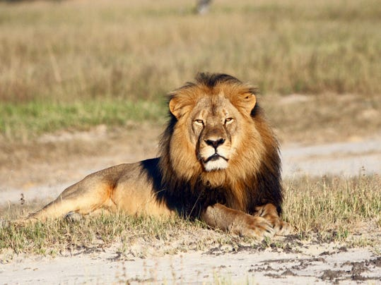 In this undated photo provided by the Wildlife Conservation Research Unit, Cecil the lion rests in Hwange National Park, in Hwange, Zimbabwe. Two Zimbabweans arrested for illegally hunting a lion appeared in court Wednesday. The head of Zimbabwe's safari association said the killing was unethical and that it couldn't even be classified as a hunt, since the lion killed by an American dentist was lured into the kill zone.