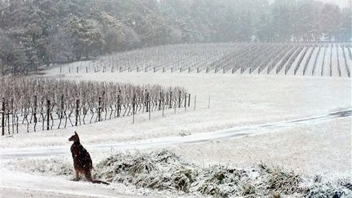 This July 16, 2015, photo provided by Bill Shrapnel and photographed through a window shows a Kangaroo on the Colmar Estate vineyard in Orange, New South Wales, Australia. The winter storm caused traffic accidents, school closures and power outages around the state on Australia's southeastern coast.