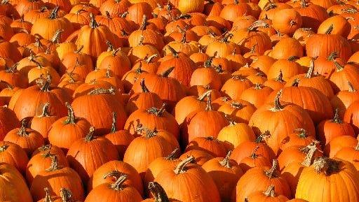 It is pumpkin patch season on the Treasure Coast.