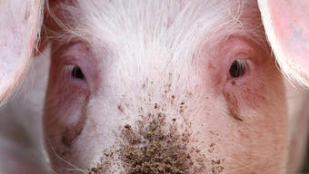 A pig at an agricultural fair in Muehlengeez, eastern Germany