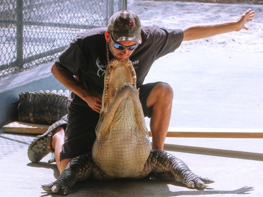 Dylan Phillips tucks the teeth of a large alligator under his chin during a live alligator show at Wooten's  Everglades Airboat Tour.