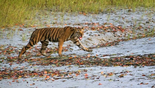 A Royal Bengal tiger prowls in an area south of Calcutta, India.