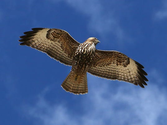 636566570983535117-REN-RED-TAILED-HAWK-02.jpg