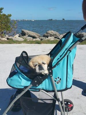Poochin in her blue stroller