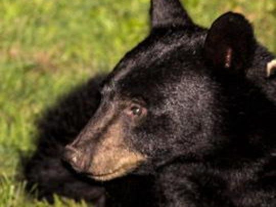 Black bear sighted in Hopewell Junction.
