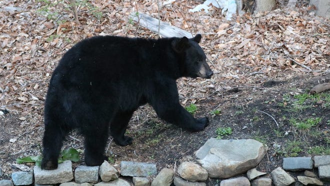 Black bears have been sighted in all of New Jersey's 21 counties but the population is most dense in the northwestern counties of Sussex, Warren, Passaic and Morris.