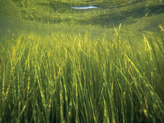 Some species of aquatic vegetation, like this eel grass