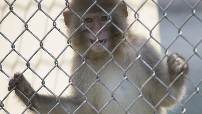 A macacque monkey peers out from its enclosure at Primate Products in Hendry County. Farms say they have plans in place to prevent monkey escapes.
