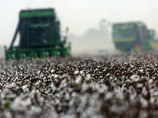The cotton crop means billions of dollars to the Mid-South.