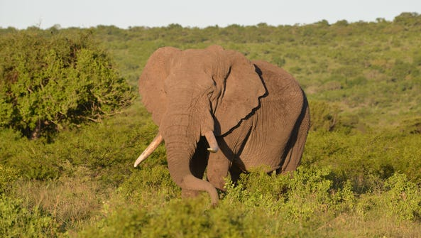 Elephants are the biggest of the 'big five' game animals