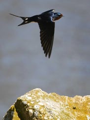 A barn swallow flies nearby at the DuPont Nature Center.
