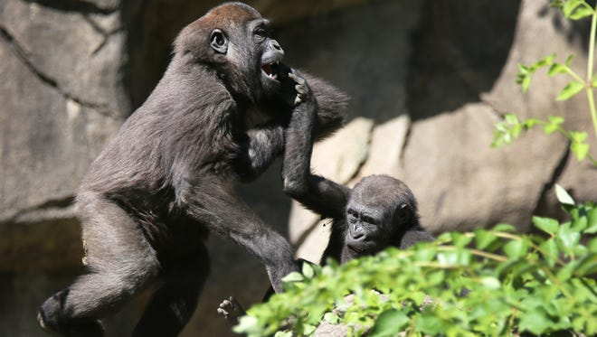 Gladys, left and Mona, western lowland gorillas, play in Gorilla World to the appreciation of the large crowd that came out to see the reopened exhibit.
