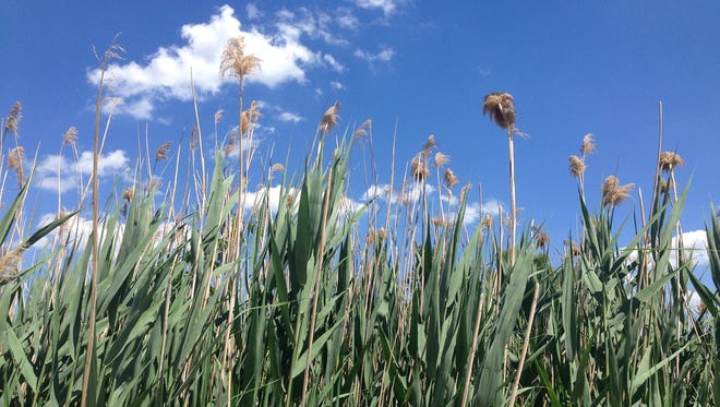 Once established in a wetland or shoreline area, invasive phragmites crowd out native plants and damage critical habitats.
