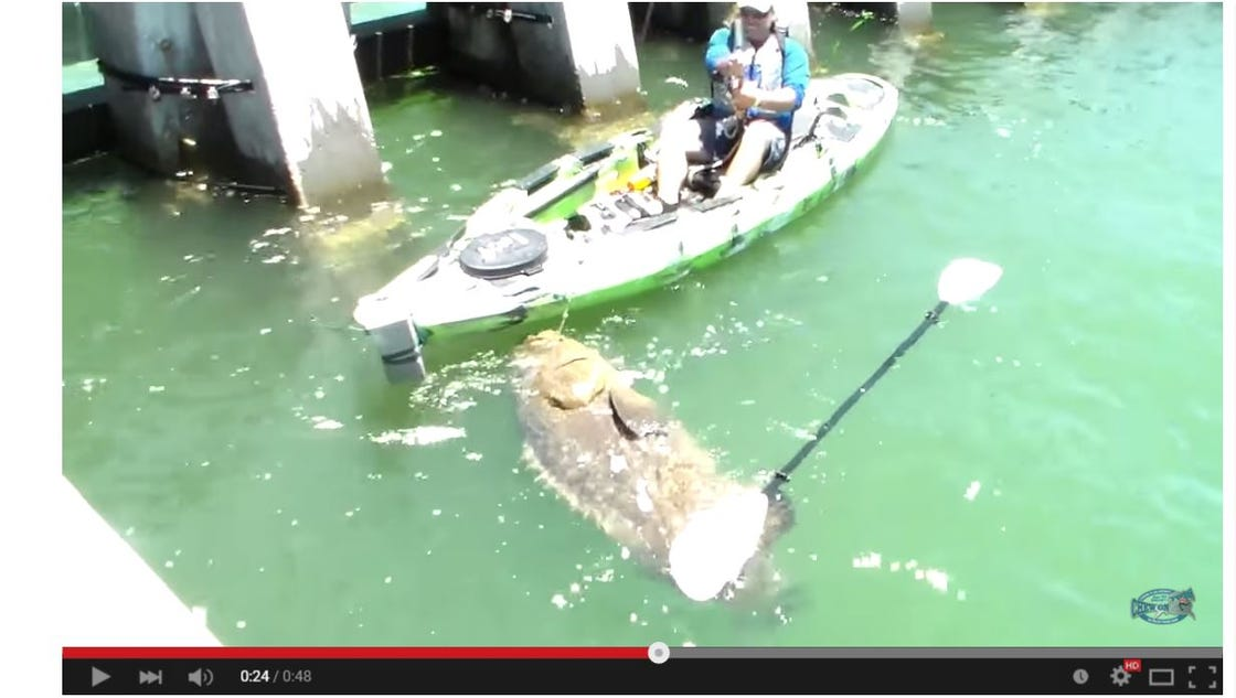 Man catches giant grouper in his kayak