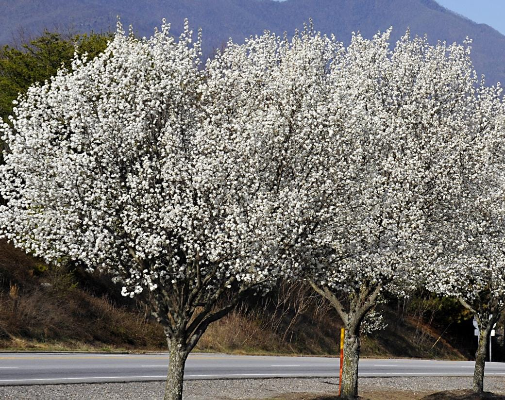Rare asian pear tree
