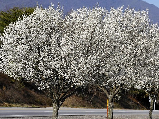 635947689282670579-Bradford-Pear-trees---Copy---Copy.jpg