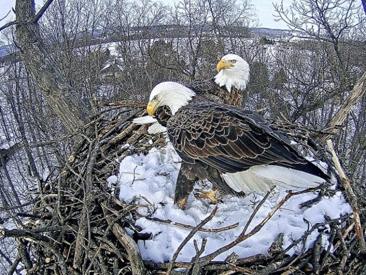 In this file photo, eagles are shown readying their Codorus State Park nest for hatchlings.