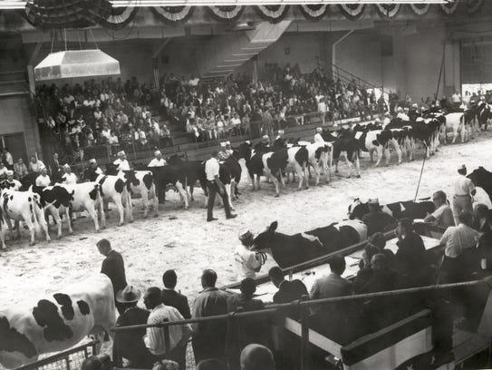 Exhibitors move their cattle around the show ring inside