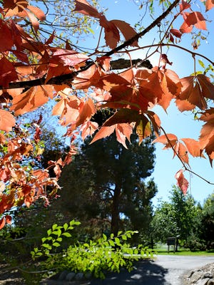 The colors of autumn are beginning in the May Arboretum at Rancho San Rafael Park Friday Oct. 3, 2014.