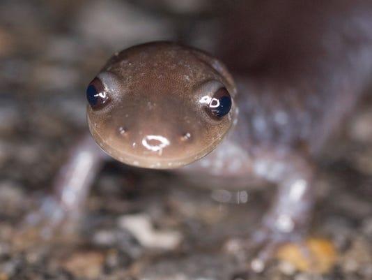 BUR20160328-salamander-mug-shot.jpg