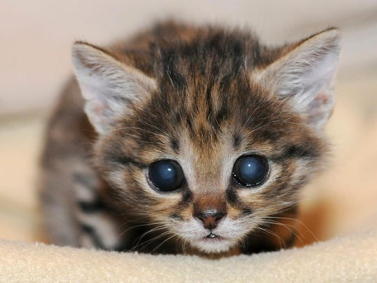 A male black-footed cat at the Animal Hospital at the