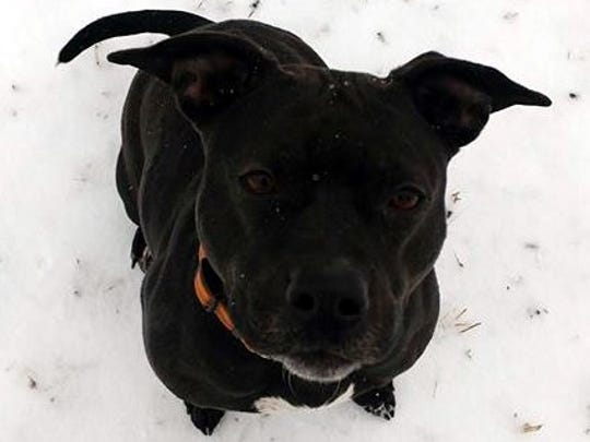 Leila is a 2-year-old, spayed, female pit bull terrier