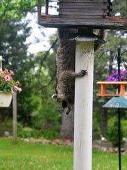 A raccoon flees a bird feeder after spotting movement