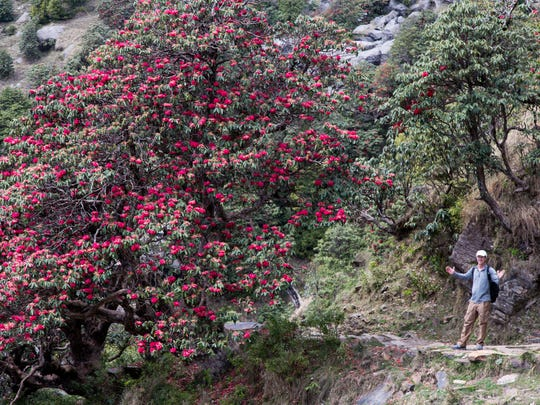 Rhododendrons were in bloom when Greg Meyer of Phoenix hiked to Triund in the Himalayas in India.