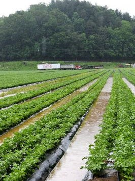 Farmer use plastic on crops because it holds in warmth in the early spring, helps control weeds and allows them to run irrigation underneath.