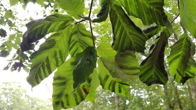 The dark bands on these beech leaves are an indication of beech leaf disease.