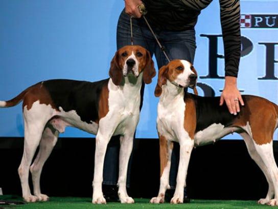 walker-coonhounds