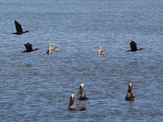 Cormorants fly overhead at the Salton Sea while brown