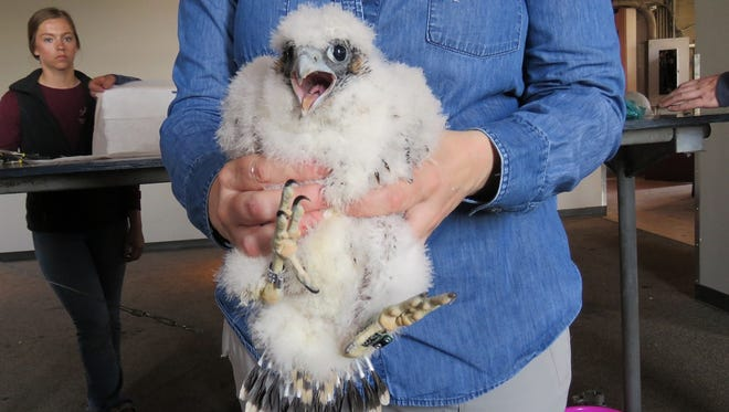 Peregrine falcon eyas Mike, on Tuesday, banding day.