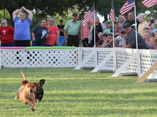 Chevy made it four straight Thursday evening when he won the annual Dachshund Races at the Festival Gardens in Nelson Park. Three times Chevy was first the finish line, including the finals. He had some help from his human crew, Kolby and Taylor Barnhill.