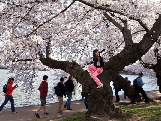 AP Cherry Blossoms