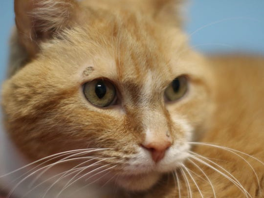 Ready to give love another try Name: Poppy Age: 7 and a half Description: Male, orange tabby, declawed Bio: My last owner became disabled and had to give me up for adoption. I miss her, but I feel like I still have a lot of love to give if someone will give me chance.