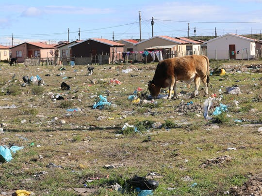 A cow grazes in a field in Motherwell, Eastern Cape, South Africa. 'When I say there is trash everywhere, I literally mean there is just trash everywhere,' Micah Whitaker said.