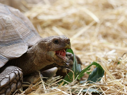 A sulcata tortoise munches on leaves from his enclosure at the Brad's World Reptiles exhibit on the seventh day of the Oregon State Fair on Thursday in Salem.