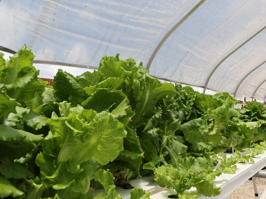 Green leaf and Romaine lettuce is grown via hydroponics at FAMU Research and Extension Center.