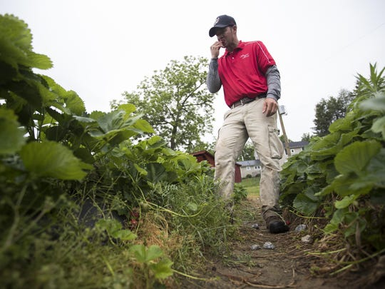 In this Tuesday, May 23, 2017, photo, Tyler Wegmeyer, owner of Wegmeyer Farms, stops to eat a strawberry in the pick-your-own strawberry patch at Wegmeyer Farms in Hamilton, Va. Hiring summer workers is one of Wegmeyer's biggest problems. Once a teenage rite of passage, summer jobs are vanishing. (AP Photo/Carolyn Kaster)