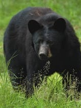 New Jersey black bear