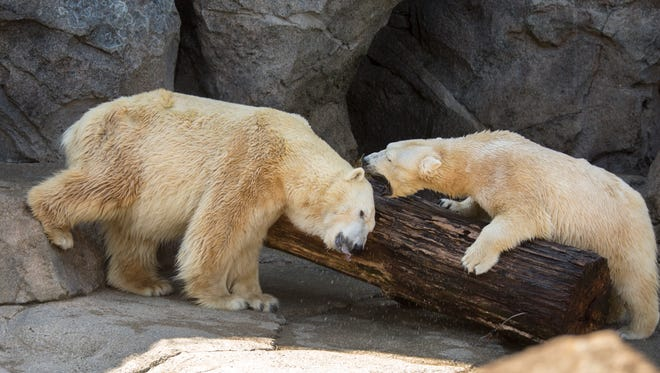 Little One, left, and Anana do a little sparring in the Lords of the Arctic habitat at the Cincinnati Zoo and Botanical Garden. Anana arrived in 2016 from the Buffalo Zoo and it's taken this past year for the two to become close. Keepers are hopeful there will be a cub in the future. Cincinnati Zoo Director Thane Maynard said it's been more than 25 years since the zoo has had a cub. There are an estimated 26,000 polar bears left in the wild. They are considered a vulnerable species.