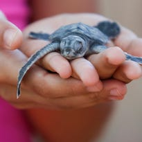 Ventura nonprofit Paso Pacifico takes on poachers with decoy sea turtle egg