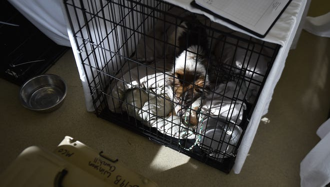 Winston Churchill, one of many dogs rescued from a meat farm in South Korea, rests in a kennel Wednesday, Jan. 18, 2017, at the Humane Society of Vero Beach and Indian River County in Vero Beach.