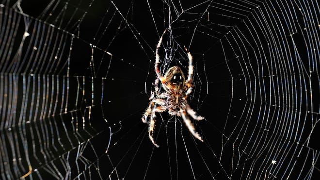 """An orb spider, often called a Halloween spider because of the """"face"""" on its back, waits in its web in a tree. These spiders are commonly found in gardens, on decks and in trees."""