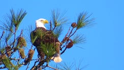 A bald eagle in Montgomery County.