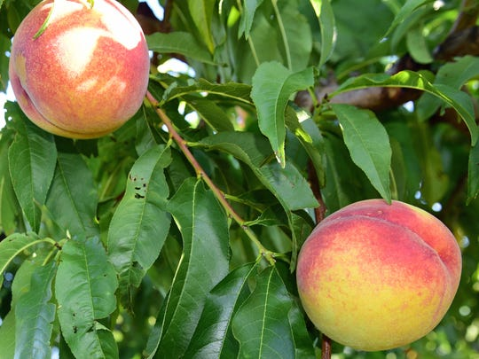 Peaches were ready to be picked last year, on Aug. 9, 2017, at Tracey's Orchard, 12483 Hollowell Church Road, Greencastle. An abundance of rain this year has caused some of the orchard's peaches to swell and split.