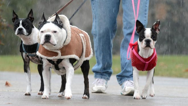 Boston Terriers, Stitch, 10, Roxey, 8, and Millie, 7 months, walk in the snow in City Park Monday morning.