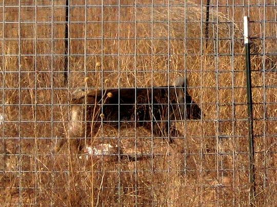 A feral hog in a trap.